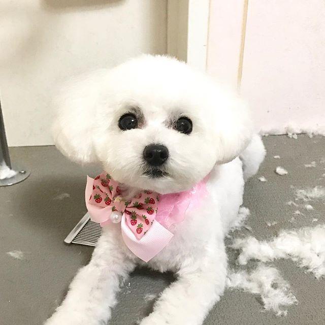 #犬 #dog #犬バカ部 #愛犬 #富山#doglover #ふわもこ部 #多頭飼い #ブリーダー #トリミング #trimming #トリマー #trimmer #groomer #grooming #dogsalon #cut #チッチ #トリミングサロン #cute #可愛い #poodle #toypoodle #トイプードル  #ティーカッププードル #teacuppoodle  カットのお客様。  マリーたんっ子 リーナちゃん💕  可愛さより、衛生重視の、  いつも、短く スッキリ カット✨  かなり短いカットでも、  元が可愛いから、激マブ〜💕💕 週末、避妊手術されるとの事。  リーナちゃん、頑張ってね‼️