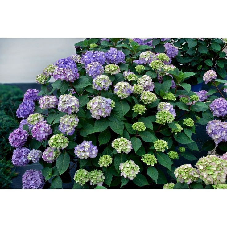 Endless Summer 1-Gallon Multicolor Hydrangea 'Bloom Struck' Flowering Shrub