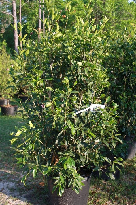 17 best images about tea olive tree on pinterest trees for Olive trees in pots winter care