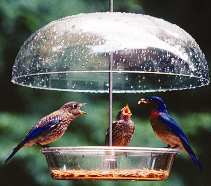 Wild Birds Unlimited: What birds are attracted to mealworms besides bluebirds?