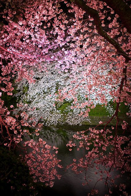 Cherry blossoms, judiciously lit, somewhere in Japan.