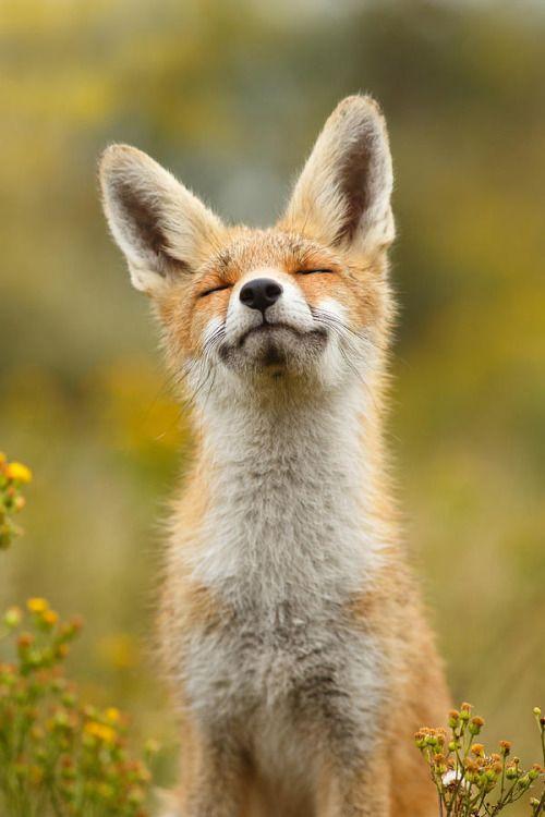 #WildLife #Animal #Fox #RedFox #VulpesVulpes #アカギツネ