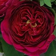 Darcey's bright magenta-crimson outer petals give way to a rich raspberry tone in the center. The long vase life coupled with its unique color makes a beautiful focal point for #weddingcenterpieces.