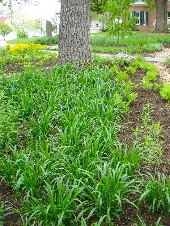 251 best gardens front garden images on pinterest for Tall grasses for shade