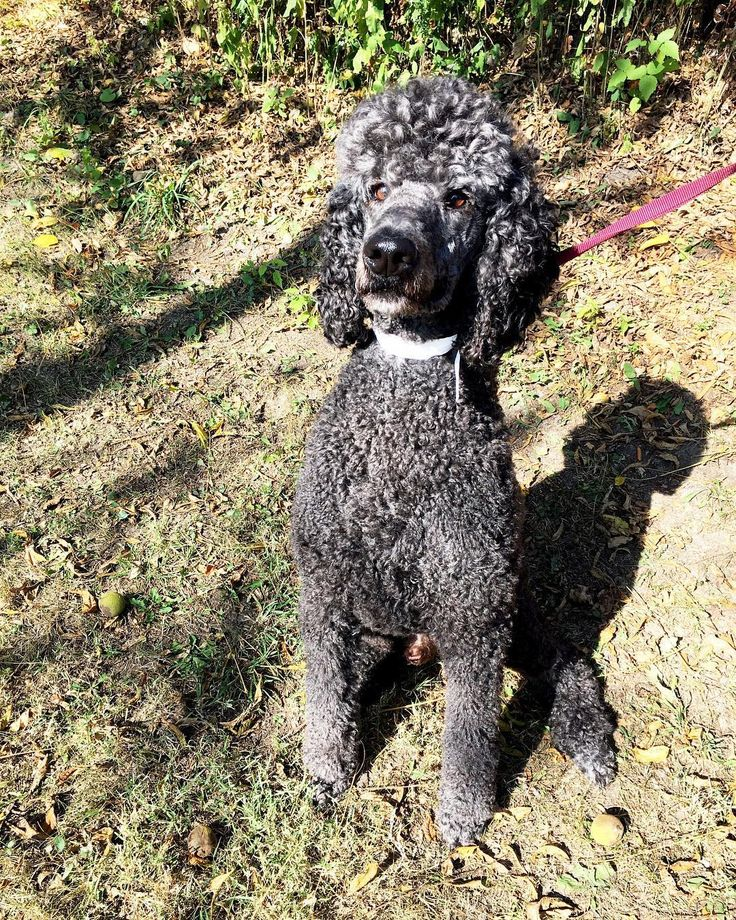 "Did you know that even though #Poodles are widely associated with France even being France's ""National Dog"" they were originally bred in Germany! They are also the only #dog that comes in 3 sizes: Standard (Like Louie here) miniature and toy. All 3 sizes were bred for specific purposes:  Standard: Utilized as duck hunters/retrievers Miniature: Used to sniff out truffles in the woods Toy: Companion dogs for the wealthy.  The Poodle is very intelligent and comes in 2nd behind the Border…"