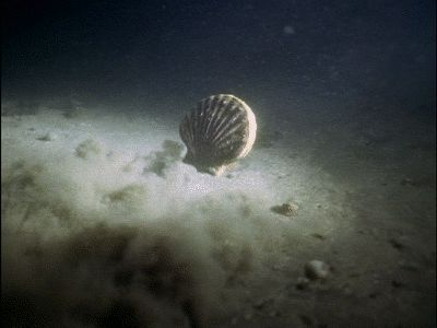 A scallop swimming.