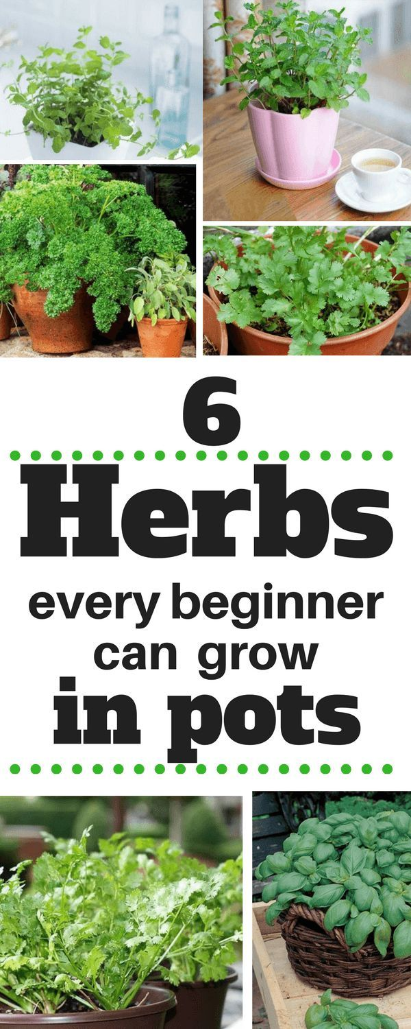 This is precisely what I'm going to do in this article. I'll show you 6 herbs to grow in pots which you can consider in this year. #garden#gardening#herbs#growyourmint.com