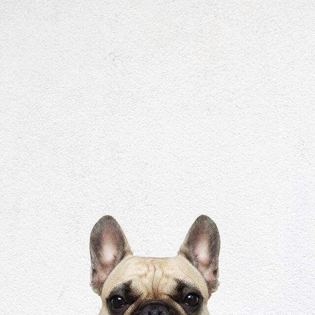 #dog #beautiful Bulldog Francese