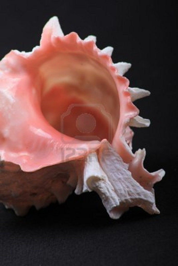 Pink Conch Shell  #sea _shell
