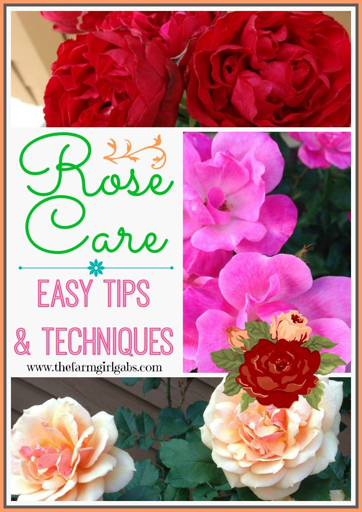 Simple Rose Garden: 1000+ Ideas About Simple Rose On Pinterest