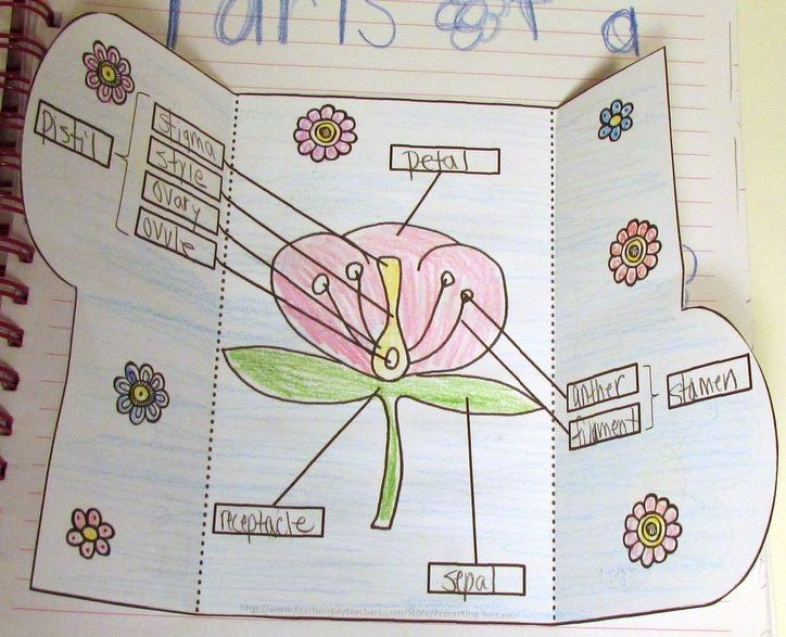 Parts of a Flower Your students will love this printable hands-on parts of a flower diagram interactive notebook activity booklet. The students will cut out an interlocking flap and attach it to their parts of a flower interactive notebooks.