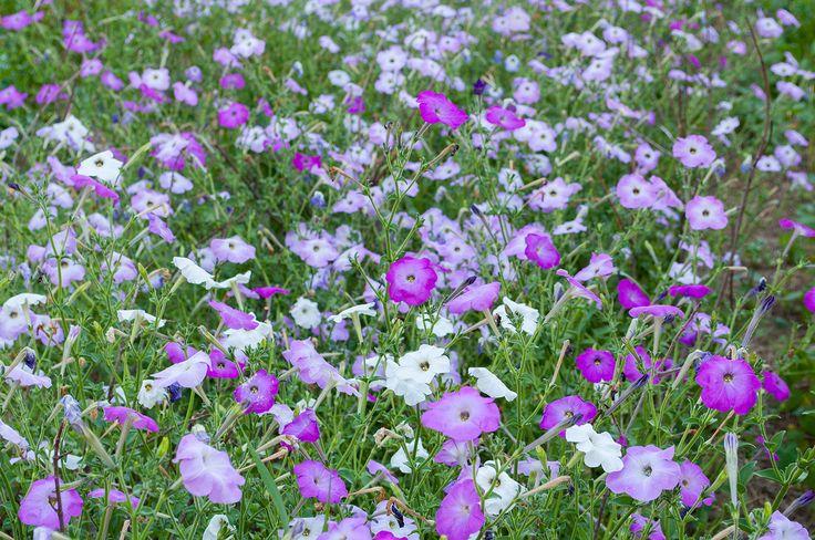 Petunia 'Old Fashioned Climbing' - Petunia hyb. plants - Select Seeds