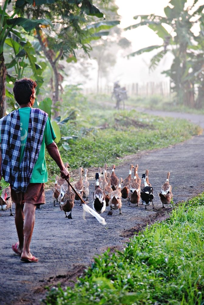 """Angon Bebek"", that's how people in Java called Duck Farmer.. Ducks have many economic uses, farmed for meat, feathers, eggs, and their droppings.."