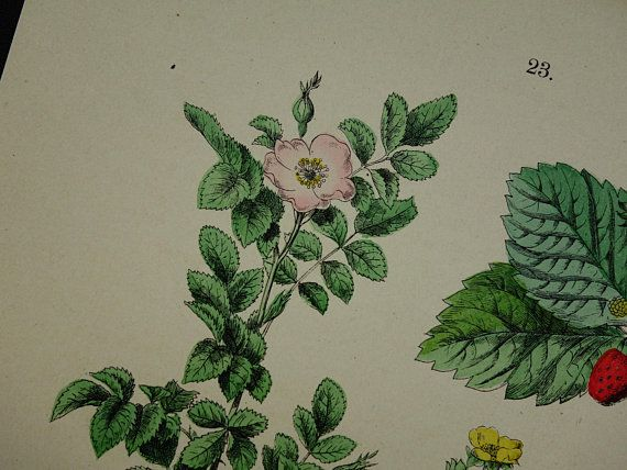 1884 old botanical print Rose antique floral illustration Rowan Hawthorn vintage pictures of Mountain-Ash Quince Roses flower herbs flora