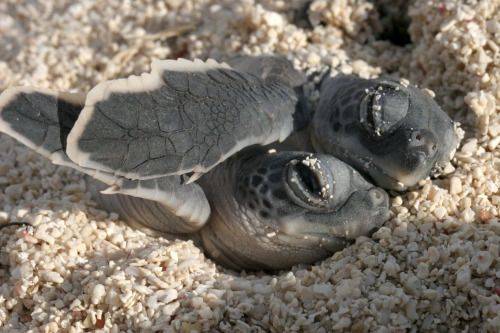 Today is World Turtle Day – a day that spotlights turtles and tortoises and how we can protect them. Kara Wall snapped this cute pic of two baby sea turtles snuggling at Dry Tortugas National Park in Florida. Five different types of sea turtles are found in the waters of south Florida, and the park is famous for the abundance of sea turtles that annually nest in the area. But remember, no matter how cute the turtles are, visitors are not allowed to disturb sea turtles or their nests.