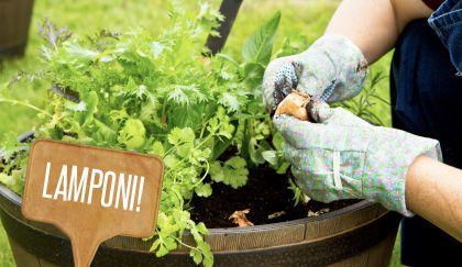 Orto in vaso: come coltivare i lamponi sul balcone | Giardinieri in affitto