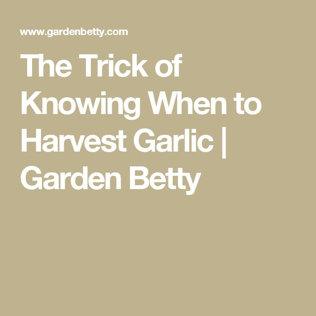 The Trick of Knowing When to Harvest Garlic | Garden Betty