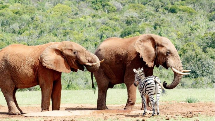 Elephants and  Zebras at the dam in Addo Elephant National Park #Photos
