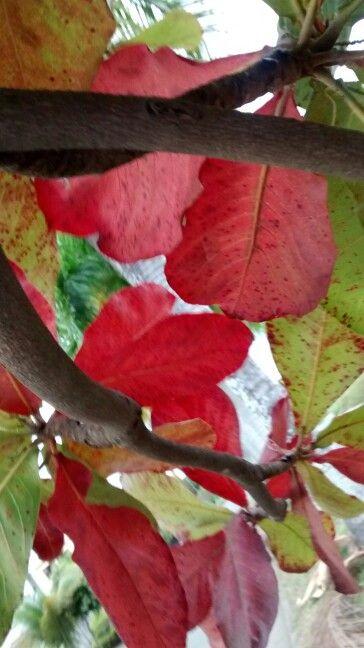 Árbol de almemdro