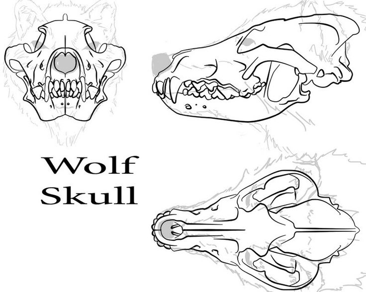 wolf anatomy refrences included balto fan art - Animal Anatomy Coloring Book