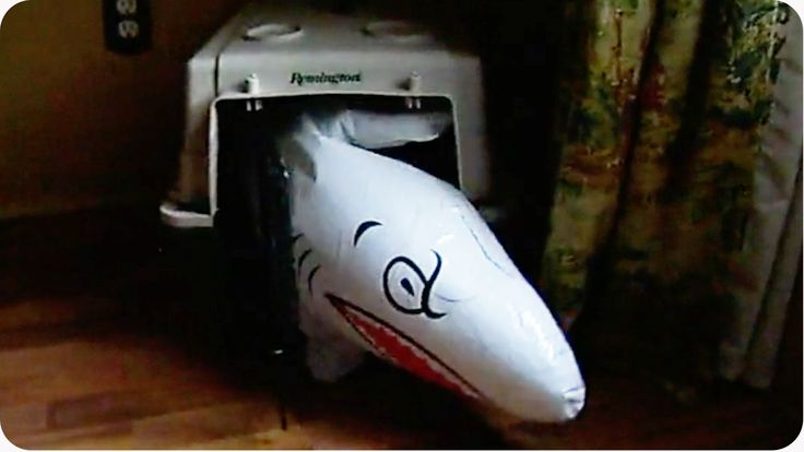 Dog Is Determined To Get This Inflatable Shark Inside His Crate - NoWayGirl