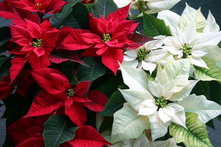Pin By Cara Lopilato On Flowers And Their Meaning Poinsettia Flower Poinsettia Family Flowers