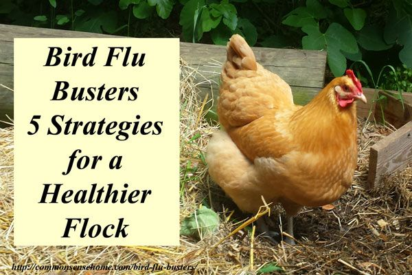 Bird Flu Symptoms and Transmission, Plus 5 Important Strategies to Help Keep Your Backyard Flock Healthy and more Resistant to Avian Influenza Infection.