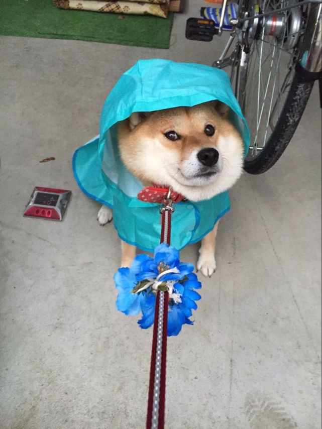 Bitch, just because you dressed me in a rain coat, that does not mean I want to go outside. #ShibaInu