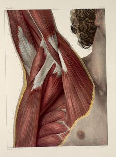 Plates from the book: Traité complet de l'anatomie de l'homme showing the muscles of the axilla (armpit)