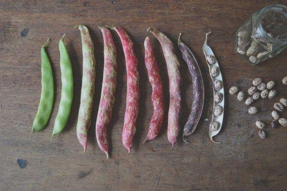 Harvesting & Storing Borlotti Beans