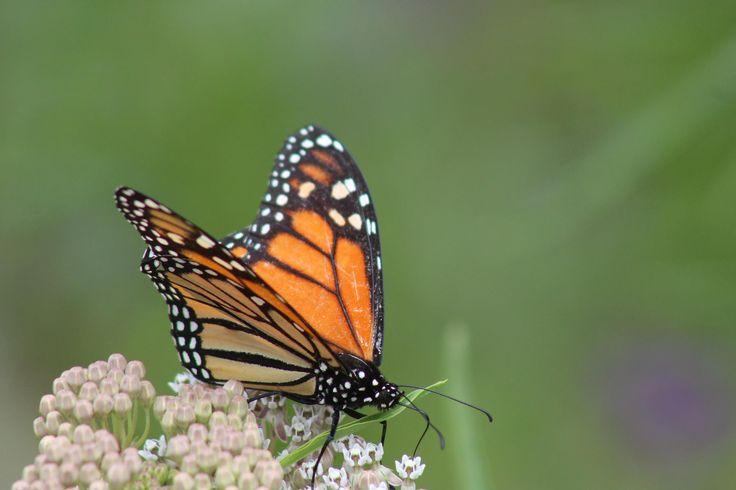 Butterflies & Brews is at Rancho Santa Ana Botanic Garden every Wednesday in June!     http://rsabg.org/garden-events/1026-butterflies-and-brews