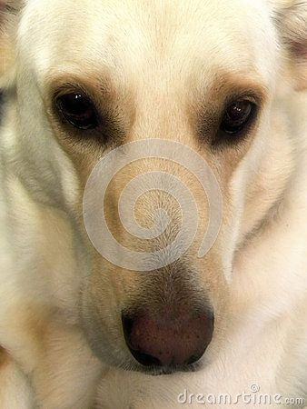 A close-up view of the face of a female blonde Labrador, German Shepard cross dog.