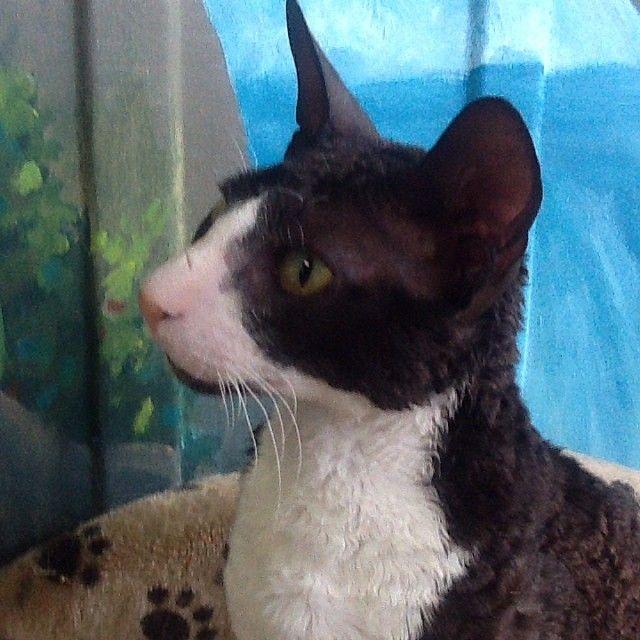 Hudson, the Cornish Rex #cat