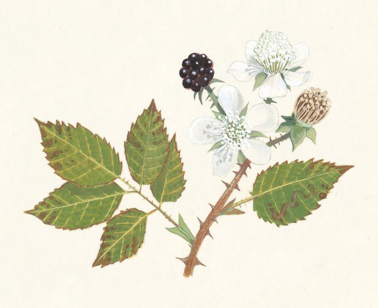 Botanical illustration of bramble plant.