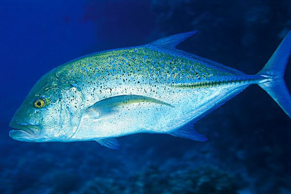 13 best images about hawaiian fish on pinterest mahi for Hawaiian fish identification