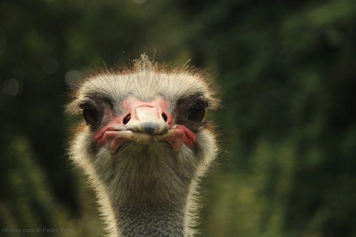 Avestruzes normalmente pesam de 90 a 130 kg, embora alguns avestruzes machos tenham sido registrados com pesos de até 155 kg. Na maturidade sexual (entre 2 e 4 anos de idade), avestruzes machos podem possuir de 1,8 m a 2,7 m de altura, enquanto as fêmeas alcançam de 1,7 m a 2 m. Durante o primeiro ano de vida crescem cerca de 25 cm por mês. Em um ano um avestruz pesa cerca de 45 kg. <br /> <br />Fontes: https://pt.wikipedia.org/wiki/Avestruz
