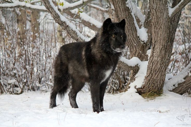 Dog Breed Most Like Wolf