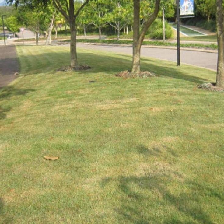 Buy nara native lawn plugs an all purpose low