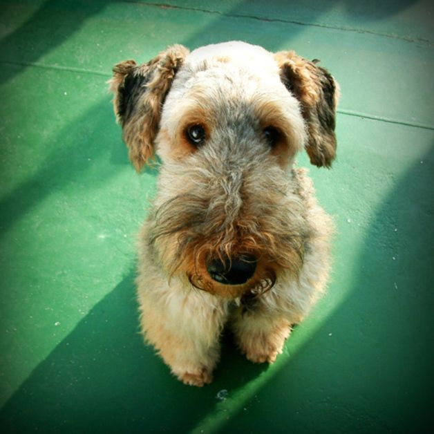 17 Best images about Airedale terrier on Pinterest  Guard dog, Cutest dogs and Airedale terrier