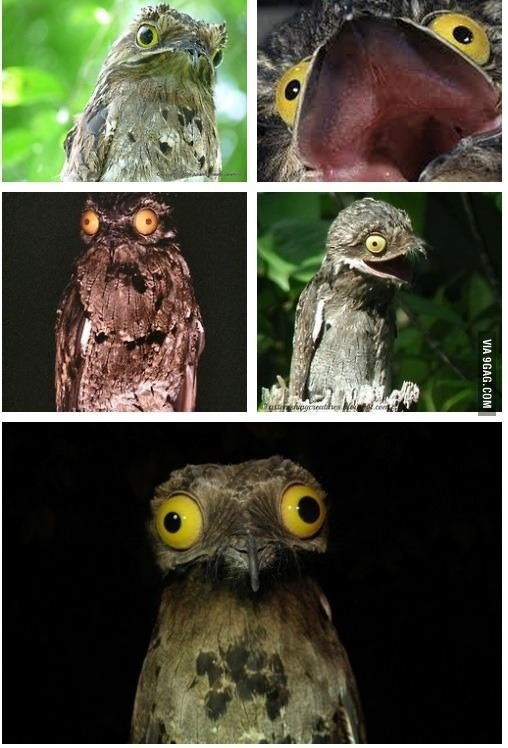 Meet the common Potoo, a nocturnal bird with giant reflective eyes. THIS IS THE THING OF NIGHTMARES!!