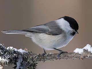 Hömötiainen, Parus montanus - Linnut - LuontoPortti