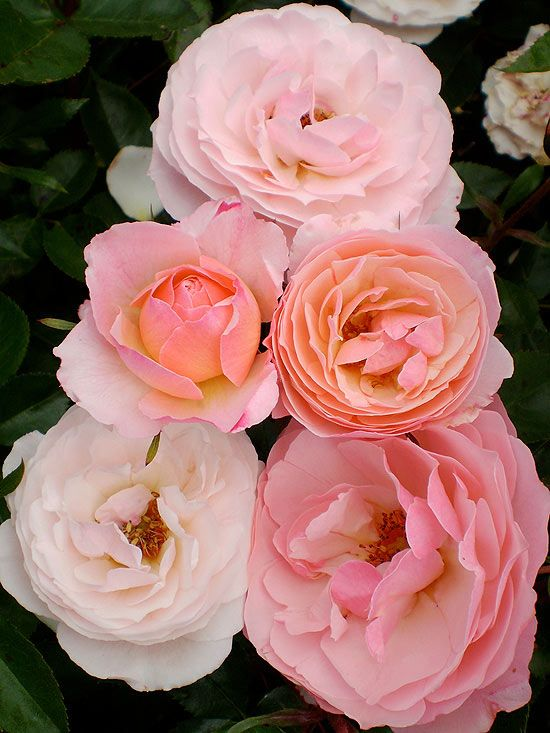 Beautiful New Roses For 2013 The Plant Like You And Flower
