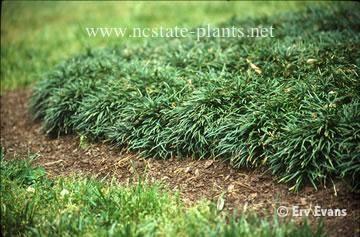 Mondo grass- can grow in shade
