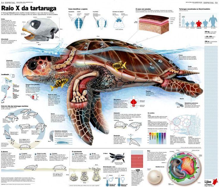 Tartaruga Cabeçuda, infográfico de Glauco Lara para o Estadão