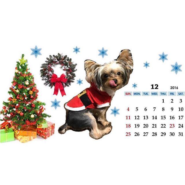 アプリを使ってれもん🍋のサンタコスで12月のカレンダー製作🎄✨ 後10日程で終わってしまいますが😅... iPhoneのロック画面に設定🐶🐾 #サンタ犬 #サンタコス #クリスマス #xmas  #12月カレンダー #ロック画面 #画像加工 #ヨーキー #ヨークシャーテリア #ヨークシャテリア #ヨーキーパピー #ヨーキー子犬 #犬 #愛犬 #わんこ #うちの子 #ヨーキー部  #ヨーキー大好き #ヨーキー倶楽部 #犬ばか部 #yorkie #yorkshireterrier #yorkielove #yorkshireterriersofinstagram #dog #dogstagram