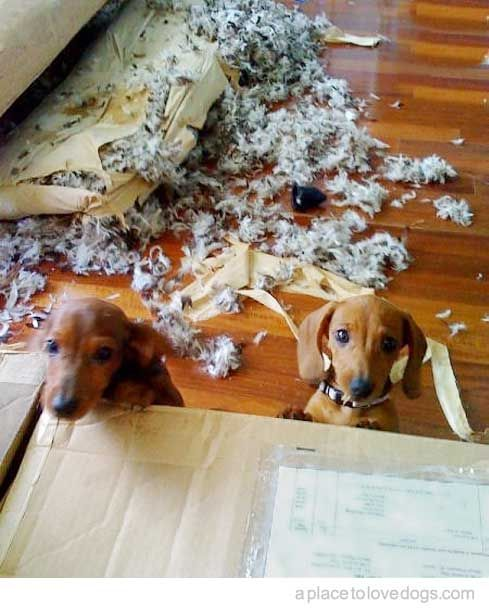 I didn't do it!Cat, Little Puppies, Weenie Dogs, Dachshund, Doxie, Funny, Weiner Dogs, Wiener Dogs, Animal