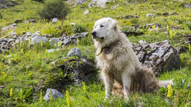 26. Great Pyrenees> Median lifespan: 9.6 years   The ...