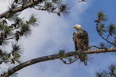 Berry Female Bald Eagle 8