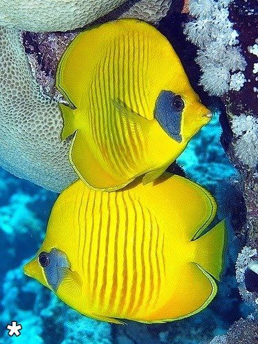 Butterfly fish.