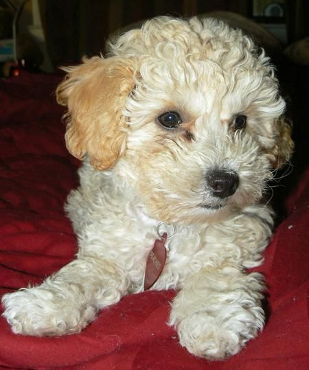Peaches the Poodle Mix -- Puppy Breed: Golden Retriever / Poodle